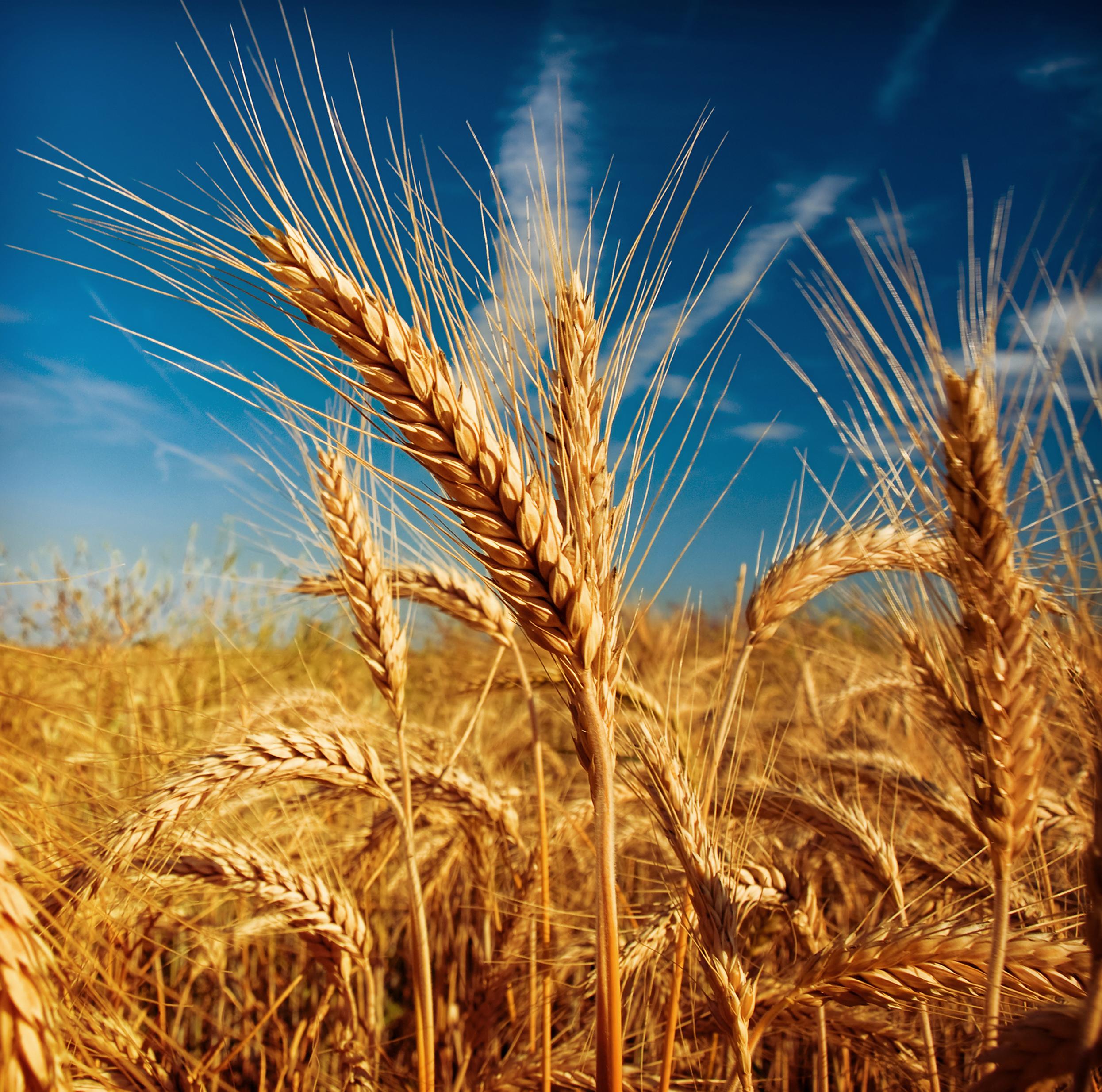 Oude graansoorten: van (levens)belang voor de biolandbouw